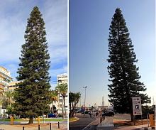 El pino de Cook del puerto de Torrevieja (Fotografia: J.A. Pujol)