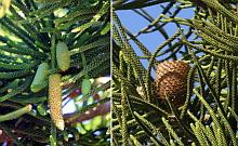 Conos masculinos (izquierda) y cono femenino o piña (derecha). (Fotografías: J.A. Pujol y J. Carrión)