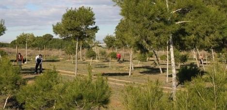Platación de pinos en Lo Albentosa (Archivo)
