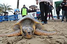 VÍDEO: Liberación tortuga. Torrevieja
