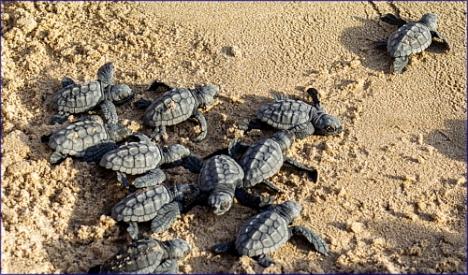 Las tortuguitas recién nacidas (Foto Xaloc)